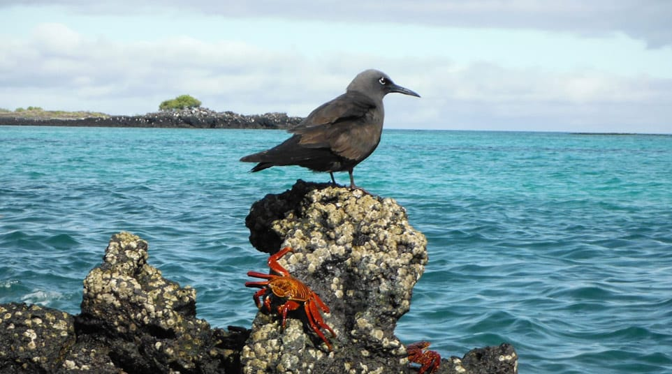 Galapagos Brown Noddy Tern