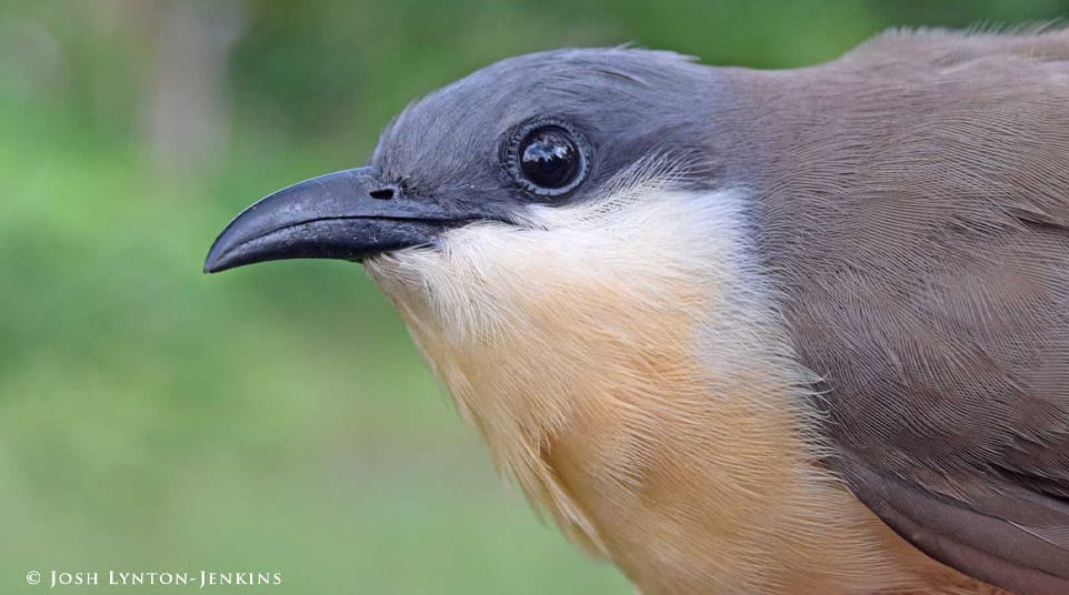 Galapagos dark-billed cuckoo