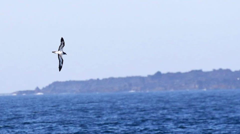 Audubon's Shearwater; Dark-rumped Petrel