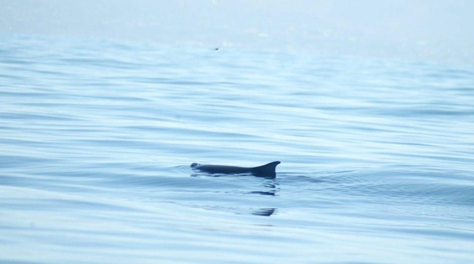 Galapagos Dwarf Sperm Whale
