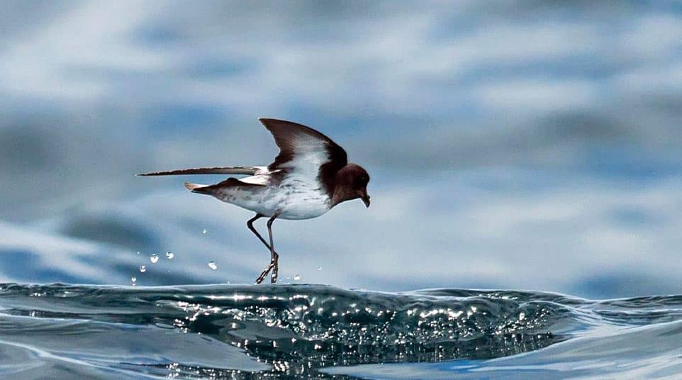 Galapagos Elliot's Storm Petrel