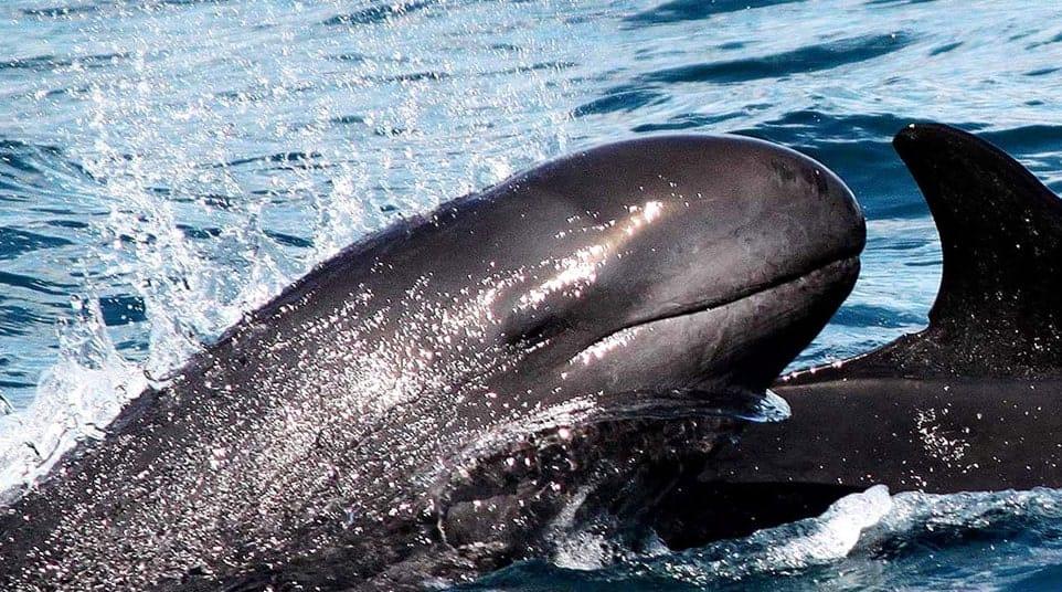 Galapagos False Killer Whale