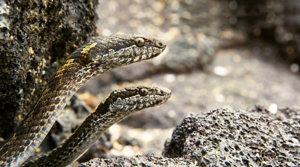 Galapagos Floreana/Espanola/San Cristobal Snake