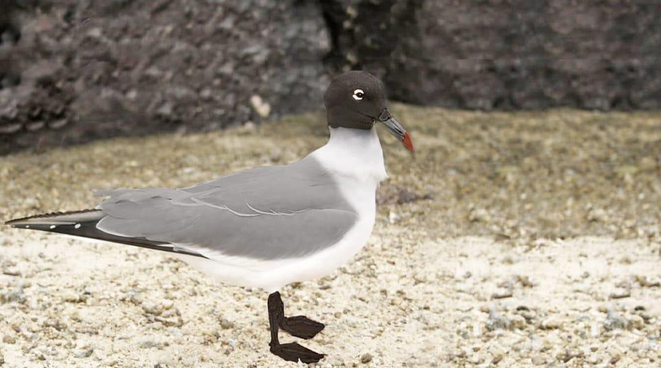 Franklin Gull