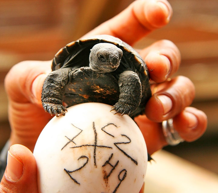 Galapagos Giant tortoise on an egg in the Galapagos