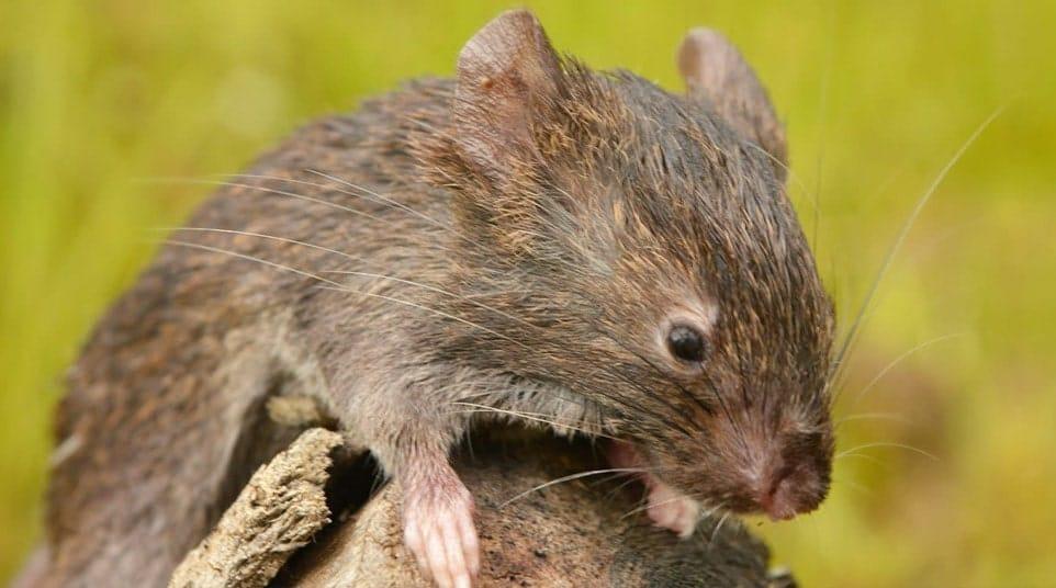 Galapagos Fernandina Rat