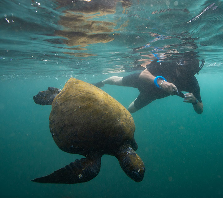 Snorkeler taking a underwater photo of a Green Sea Turtles in the Galapagos Islands