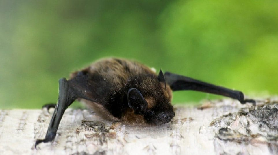 Galapagos Hoary Bat