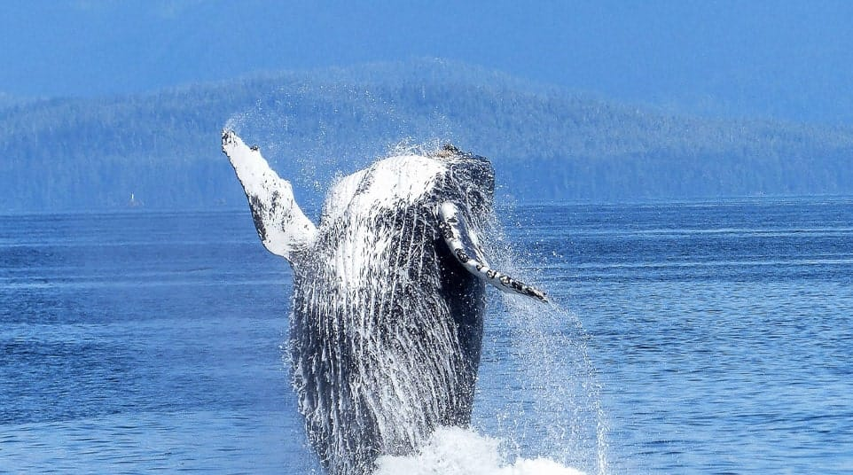 Galapagos Humpback Whale
