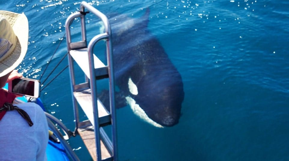 Galapagos Killer Whales Orca