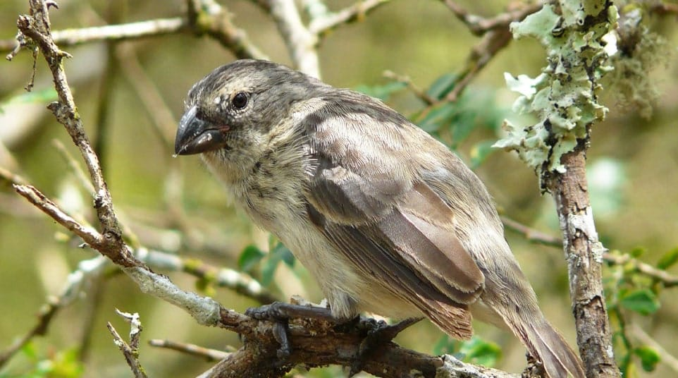Galapagos Large Tree Finch