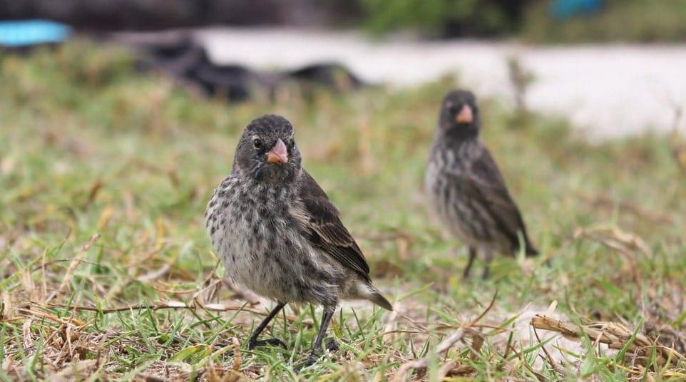 Galapagos Medium Ground Finch