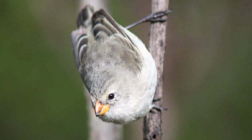 Galapagos Medium Tree Finch