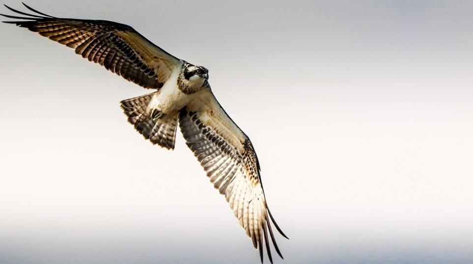 Galapagos Osprey