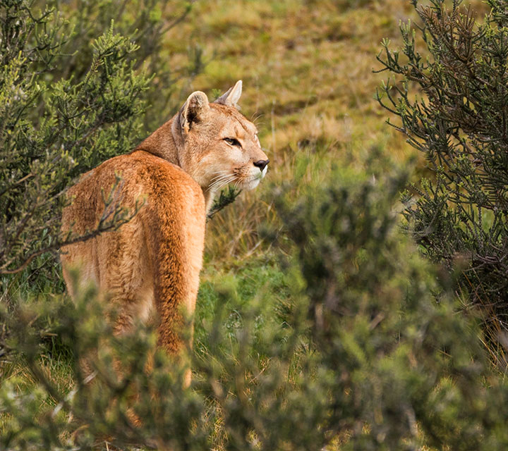 Tracking Patagonian Pumas with Quasar Expeditions