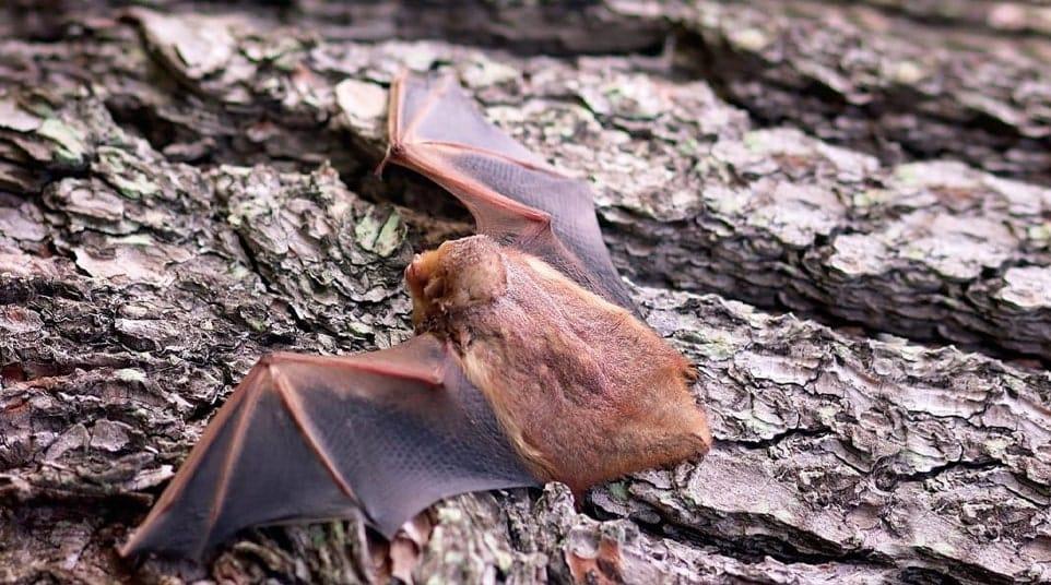 Galapagos Red Bat