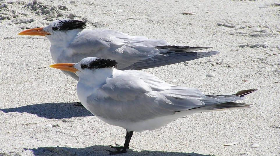 Galapagos Royal Tern