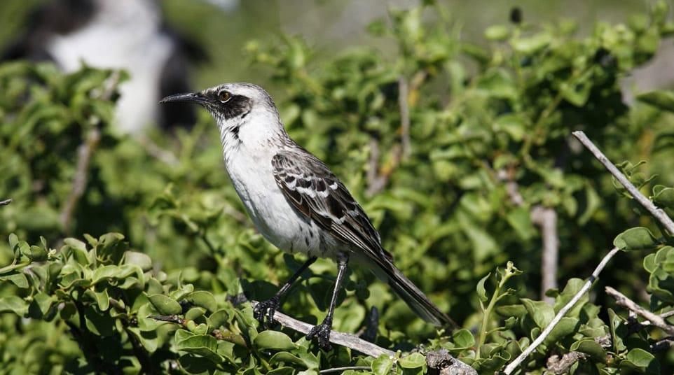 Galapagos San Cristobal Mockingbird