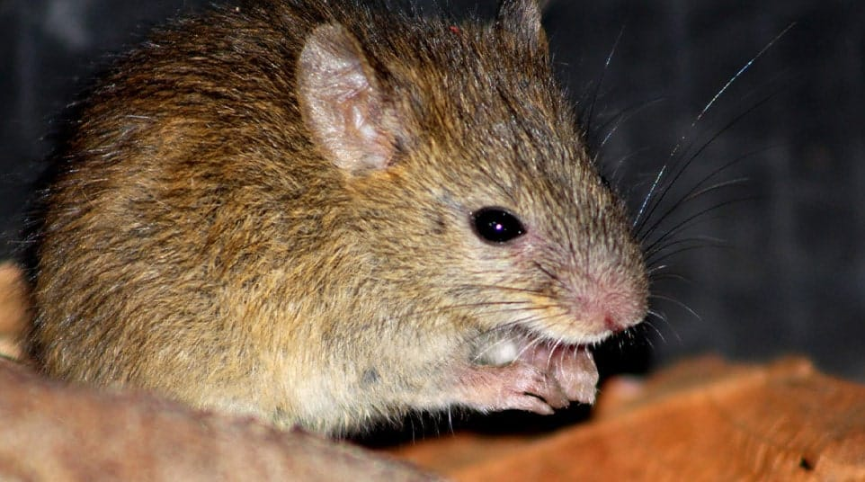 Galapagos Santiago Rice Rat