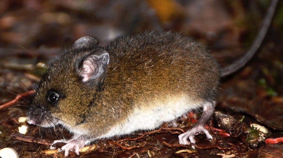 Galapagos Small Fernandina Rice Rat