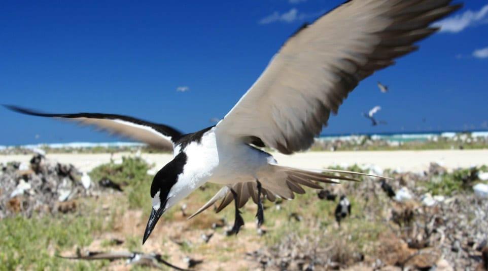 Galapagos Sooty Tern