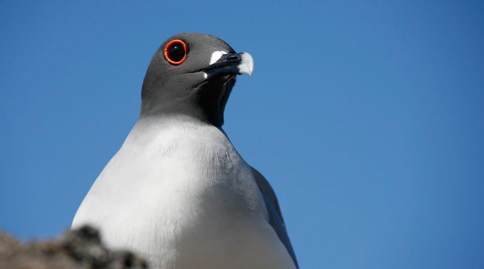 Galapagos Swallow Tailed Gull