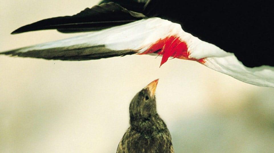 Galapagos Vampire Finch