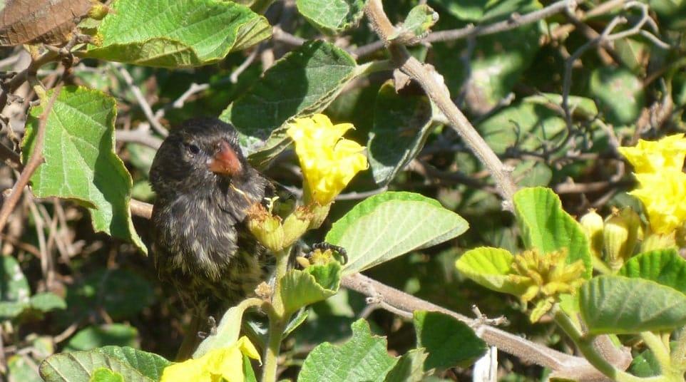 Galapagos Vegetarian Finch