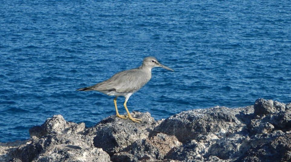 Galapagos Wandering Tattler