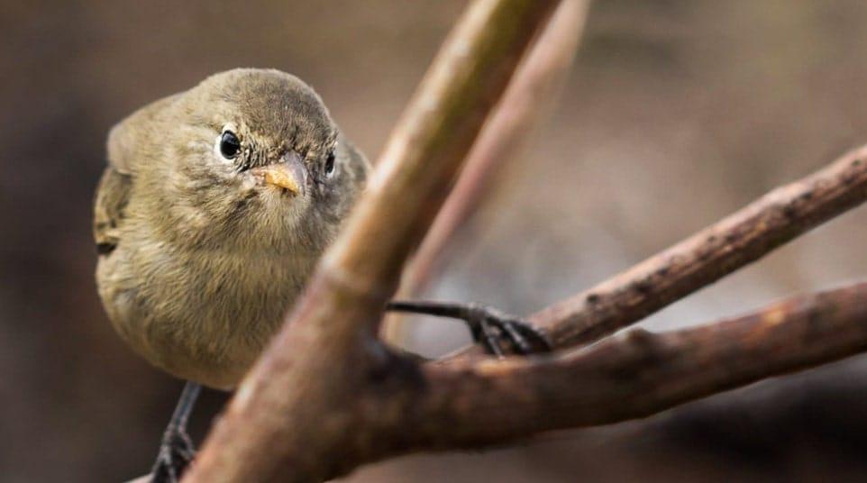 Galapagos Warbler Finch
