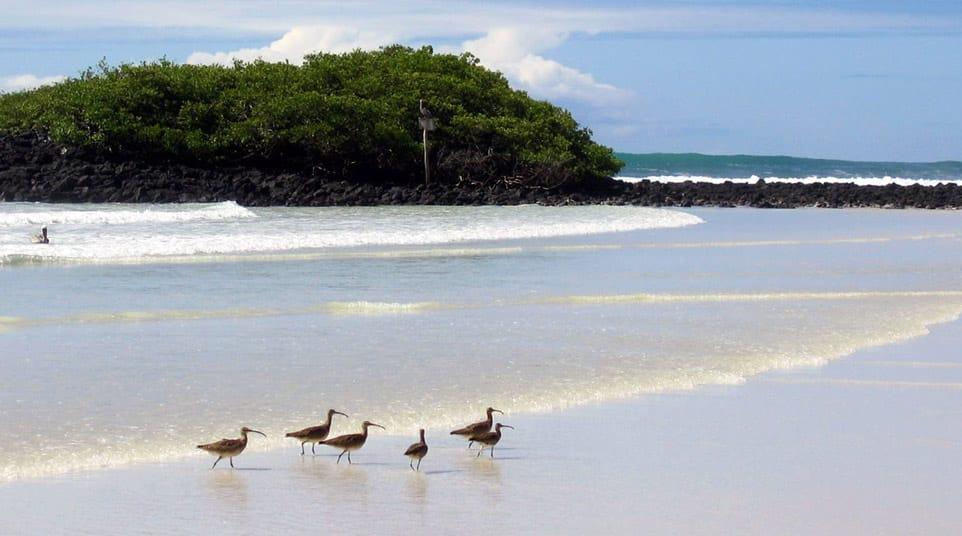 Galapagos Whimbrel