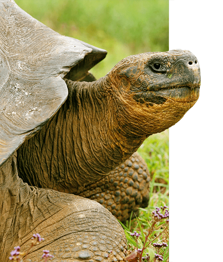 Galapagos tortoise sticking out head