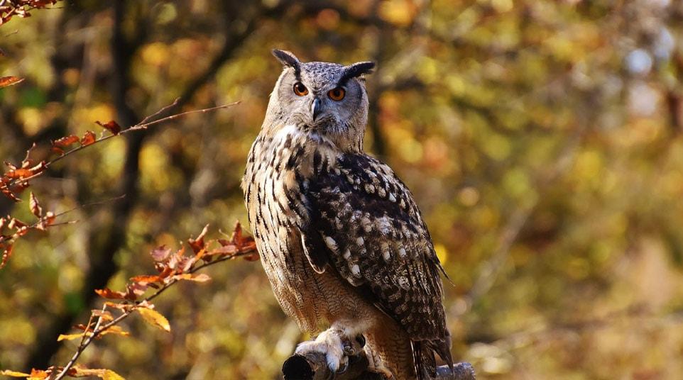 Lesser/Magellanic Horned Owl Patagonia