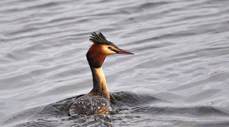 Patagonian Great Crested Grebe