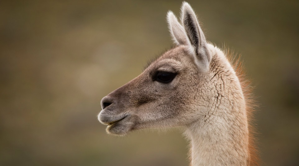 Up-close view of a Patagonian Guanaco