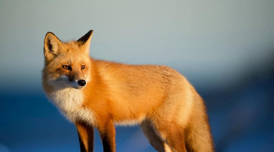 Patagonian Red Fox,