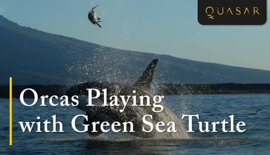 Galapagos Orcas Playing